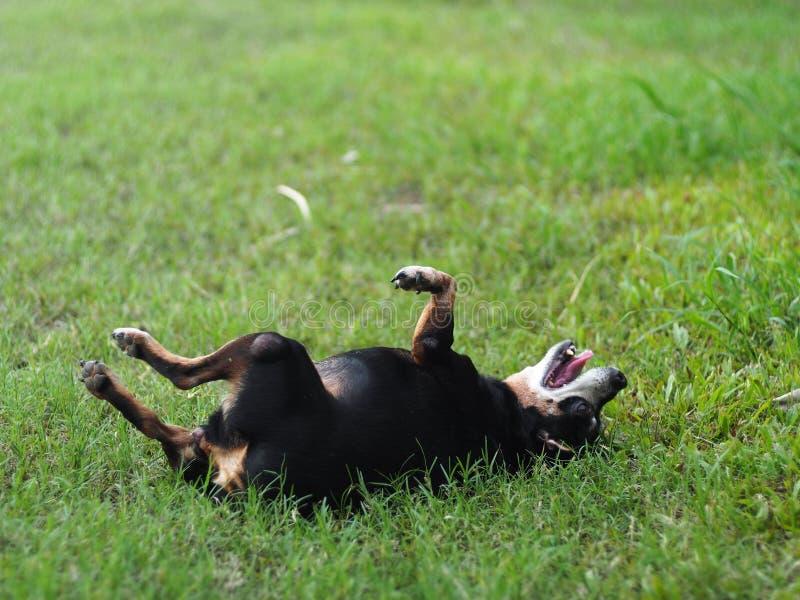 Het gelukkige zwarte vette mooie leuke oude miniatuurpincherhond het dansen rollen openlucht op groene grasvloer stock foto's