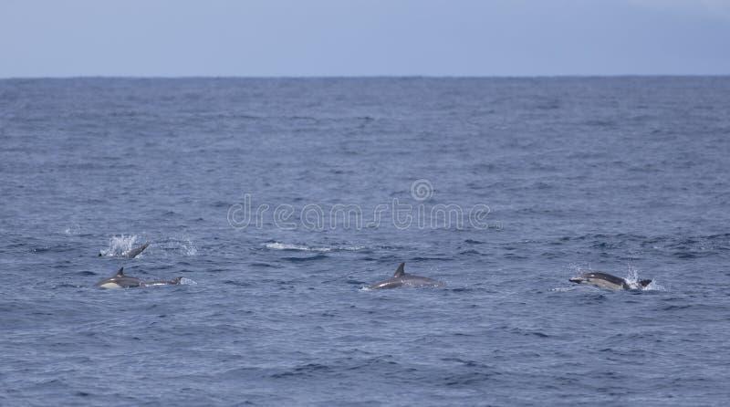 Het gemeenschappelijke Dolfijnen springen royalty-vrije stock fotografie