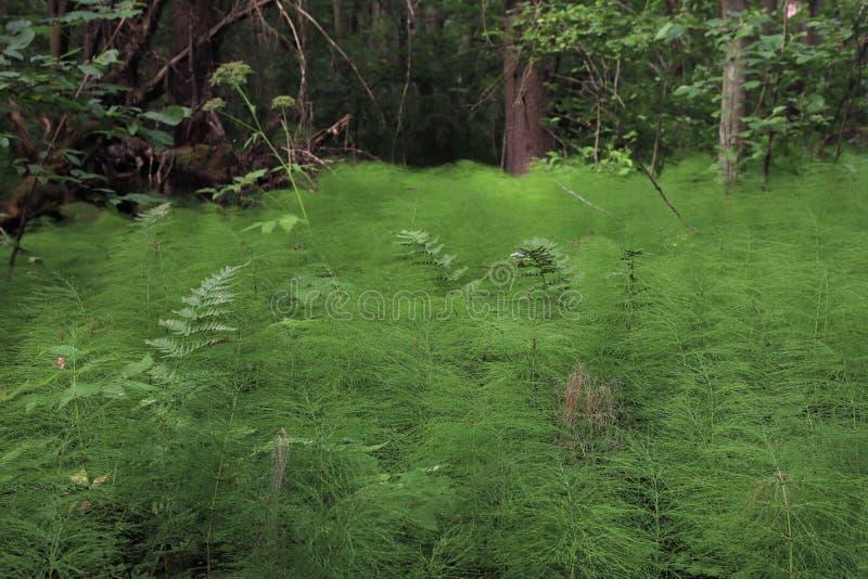 Het gemeenschappelijke horsetail groeien als een tapijt royalty-vrije stock afbeelding