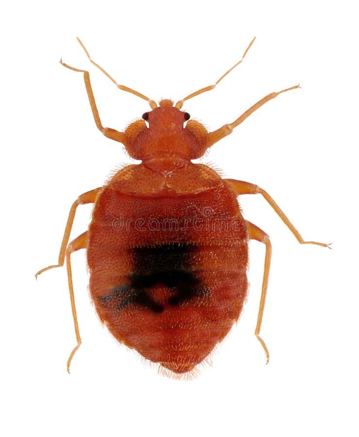 Het gemeenschappelijke Insect van het Bed stock afbeelding