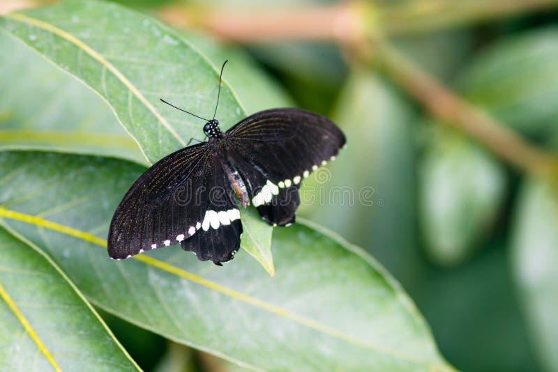 Het gemeenschappelijke Mormoonse mannetje van Papilio polytes met open vleugels op bladbovenkant v stock afbeelding