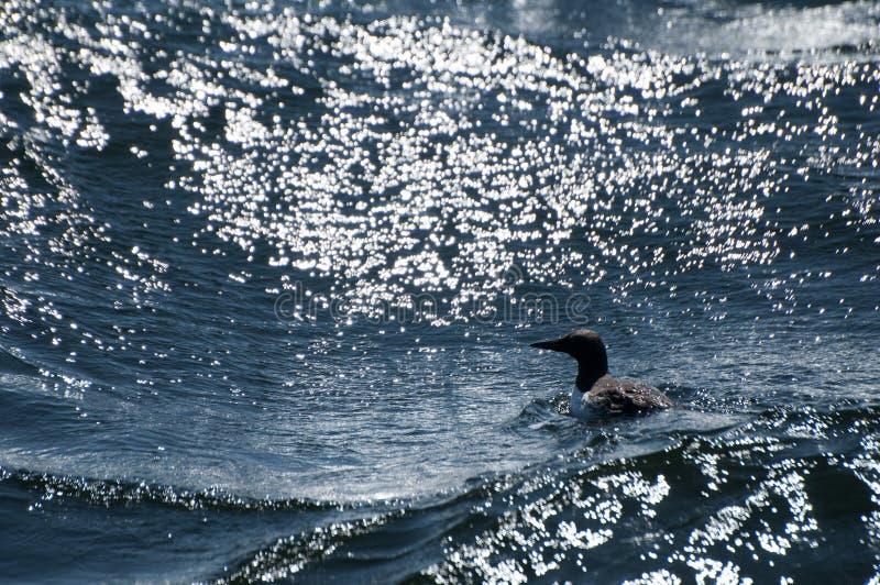 Het gemeenschappelijke murre zwemmen stock afbeelding