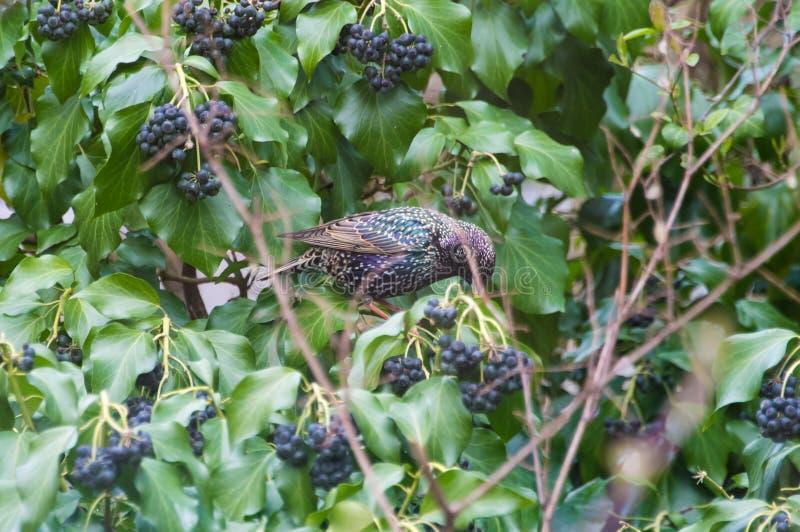 Het gemeenschappelijke starling in een struik stock foto