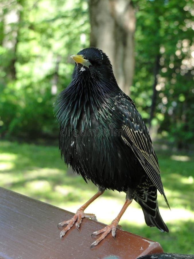 Het gemeenschappelijke starling, het vulgaris, Europese starling van Sturnus royalty-vrije stock afbeelding