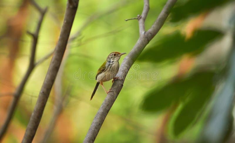Het gemeenschappelijke tailorbird neerstrijken stock afbeeldingen