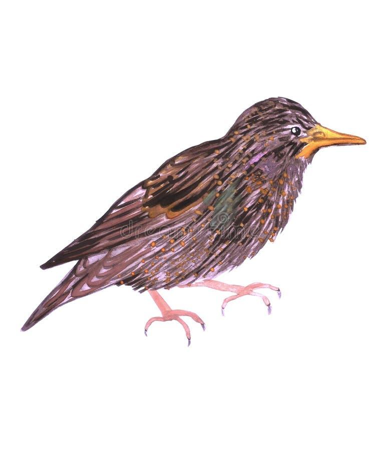 Het gemeenschappelijke vulgaris starling of Europese het starling of Sturnus geïsoleerd op wit stock illustratie