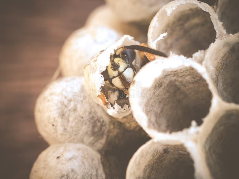 Het gemeenschappelijke vulgaris te voorschijn komen van wespvespula uit kroostcel royalty-vrije stock fotografie