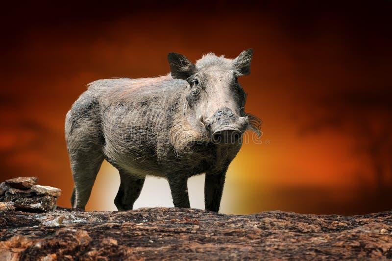 Het gemeenschappelijke wrattenzwijn op de achtergrond van het savannelandschap en zet Kilimanjaro bij zonsondergang op stock foto's