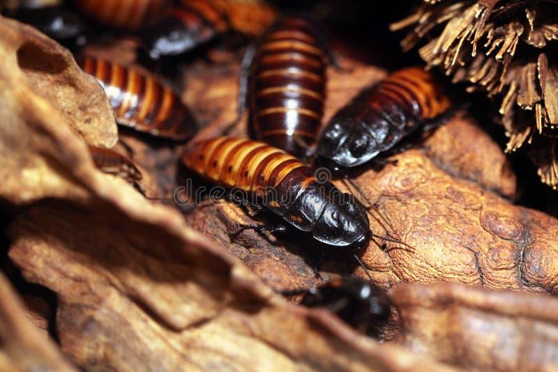 Het gesiskakkerlak van Madagascar (Gromphadorhina-portentosa) stock afbeelding
