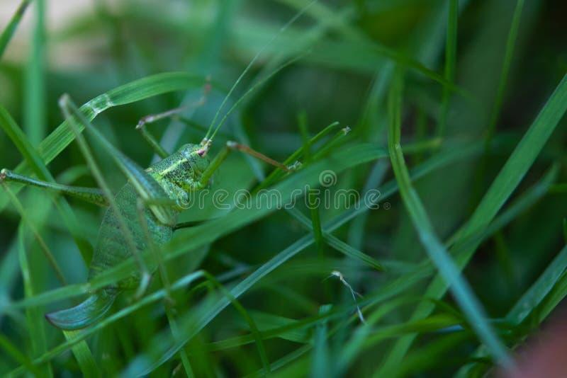 Het gespikkelde Bush-Veenmol Verbergen in Gras stock afbeeldingen