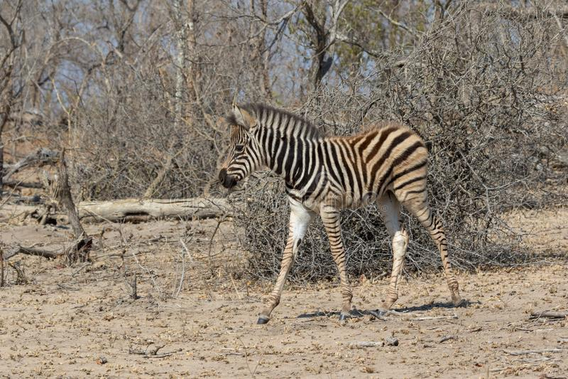 Het gestreepte nationale Park van Kruger royalty-vrije stock afbeelding