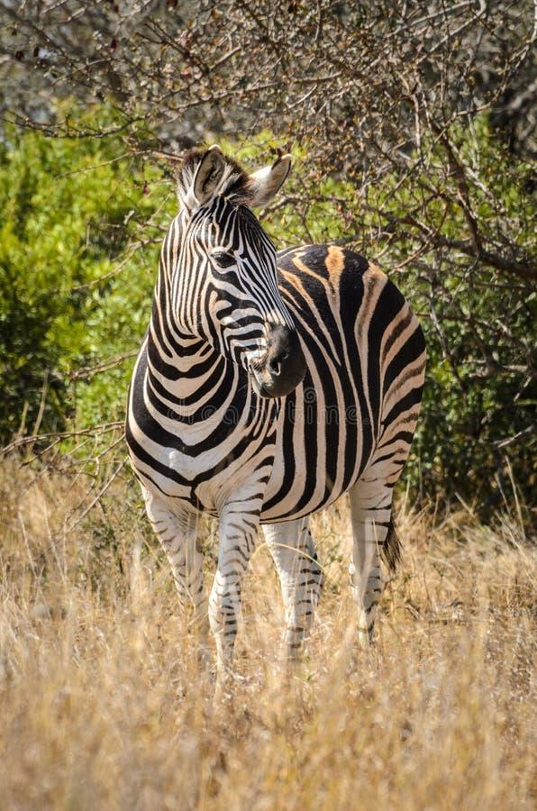Het gestreepte nationale Park van Kruger, de safaridieren van Zuid-Afrika, het wildfotografie royalty-vrije stock foto's