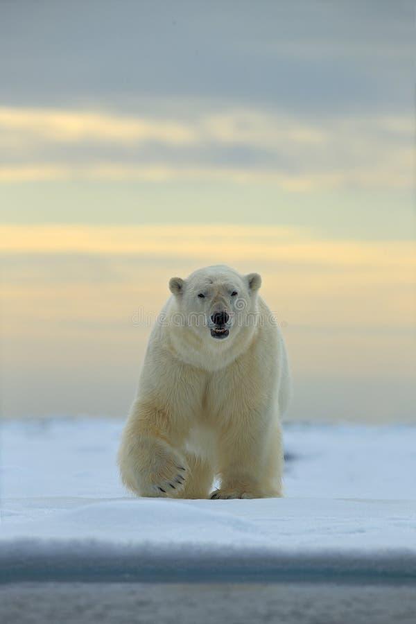 Het gevaarlijke kijken ijsbeer op het ijs in Svalbard royalty-vrije stock fotografie