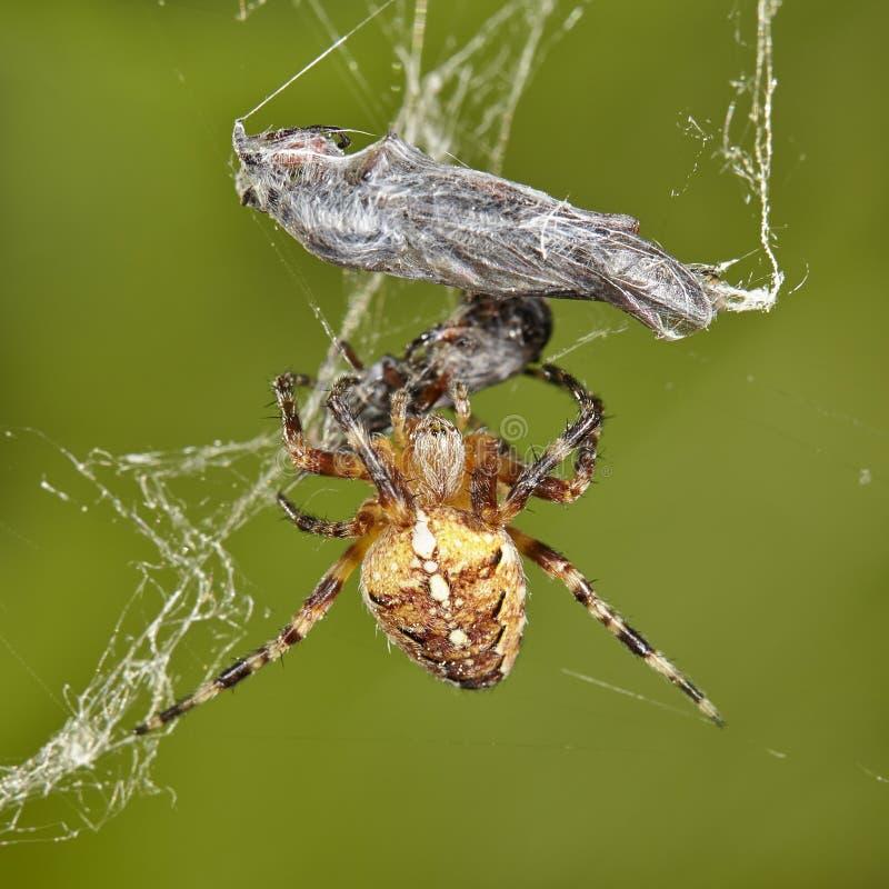 Het gevangen insect van kruisspinaraneus diadematus in zijn Web Nieuw versie herontworpen dollarbankbiljet stock foto