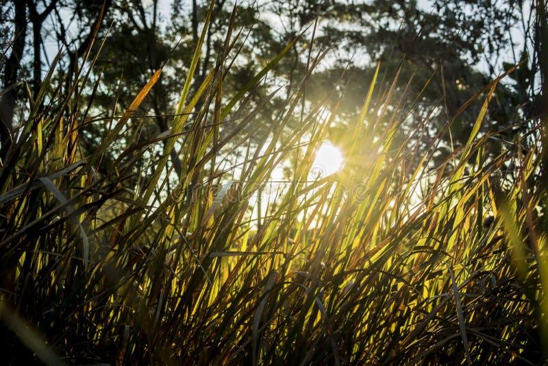 Het gevoel van warmte van de zon die door terug aangestoken gras glanzen schoot vorm een lage hoek met bomen op de achtergrond stock foto's