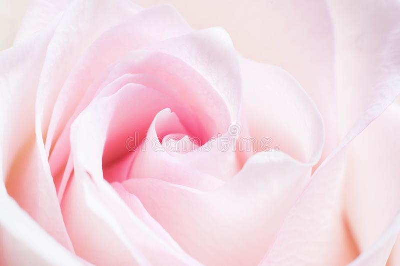 Het gevoelige koraal nam bloem met roze schaduw met bloemblaadjes voor een romantisch stemmingsclose-up toe als gift tot een meis stock afbeelding
