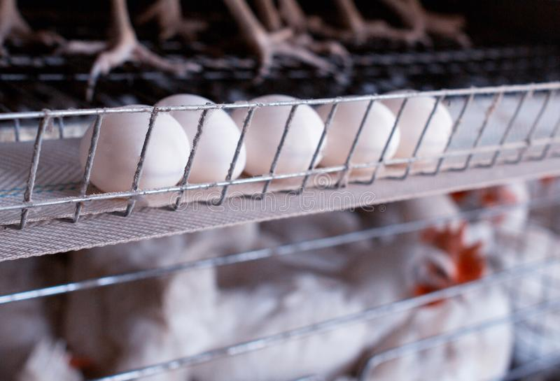 Het gevogeltelandbouwbedrijf voor het fokkenkippen, kippeneieren gaat door de vervoerder, de kippen en de eieren, fabriek, gevoge royalty-vrije stock fotografie