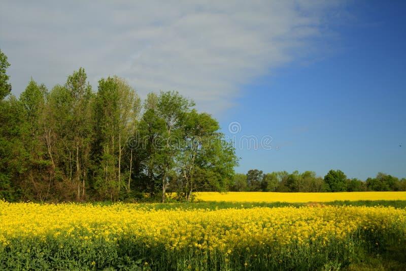 Het Gewas van Alabama Canola - Brassica napus L. stock foto