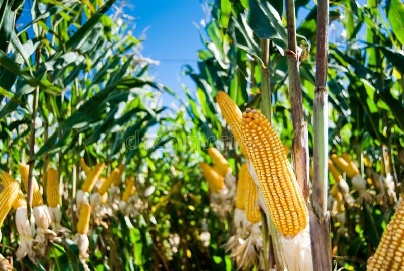 Het Gewas van de maïs royalty-vrije stock fotografie