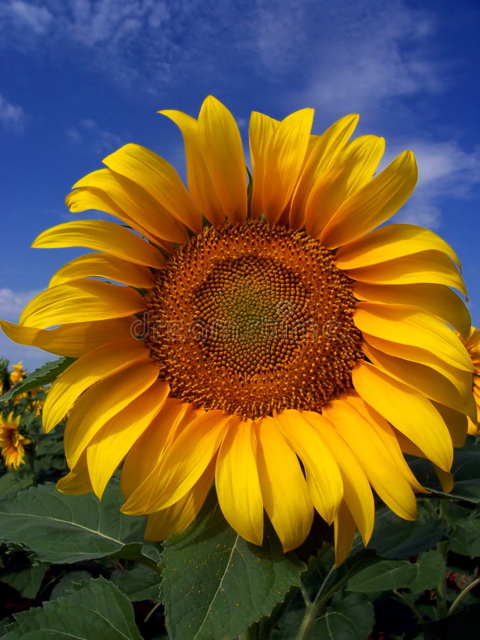 Het Gewas van de zonnebloem in West-Texas royalty-vrije stock foto's
