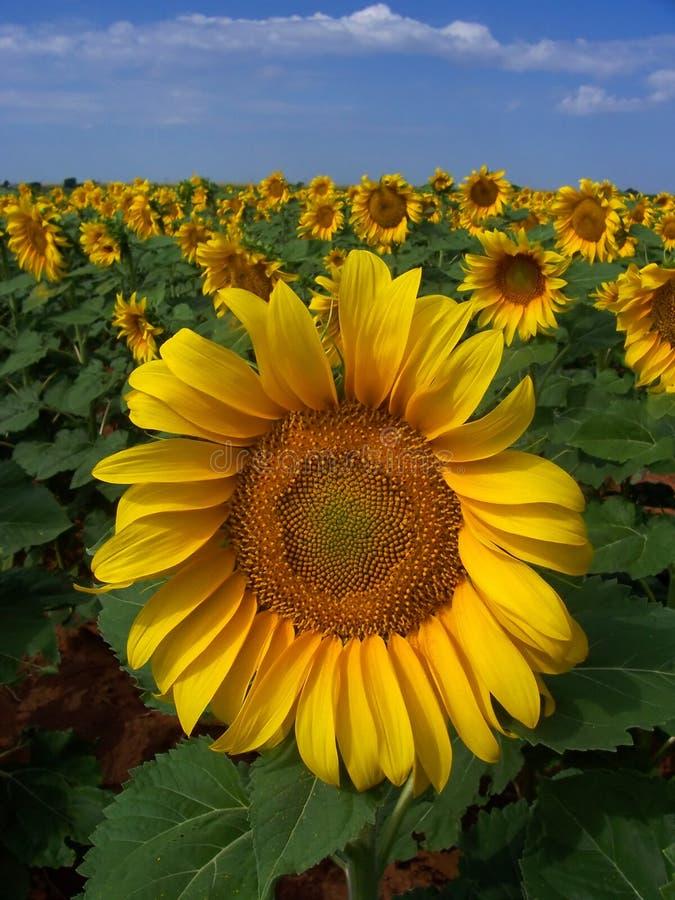 Het Gewas van de zonnebloem in West-Texas royalty-vrije stock afbeeldingen