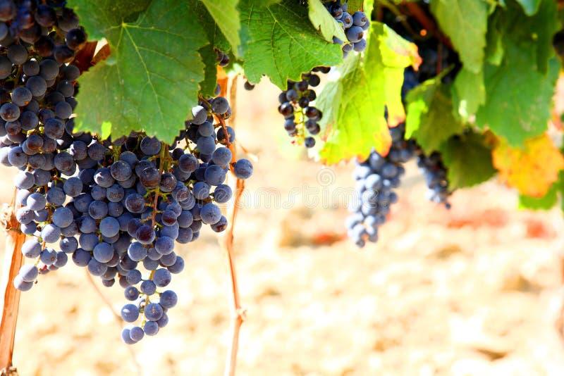 Het gewas van druiven. royalty-vrije stock afbeeldingen