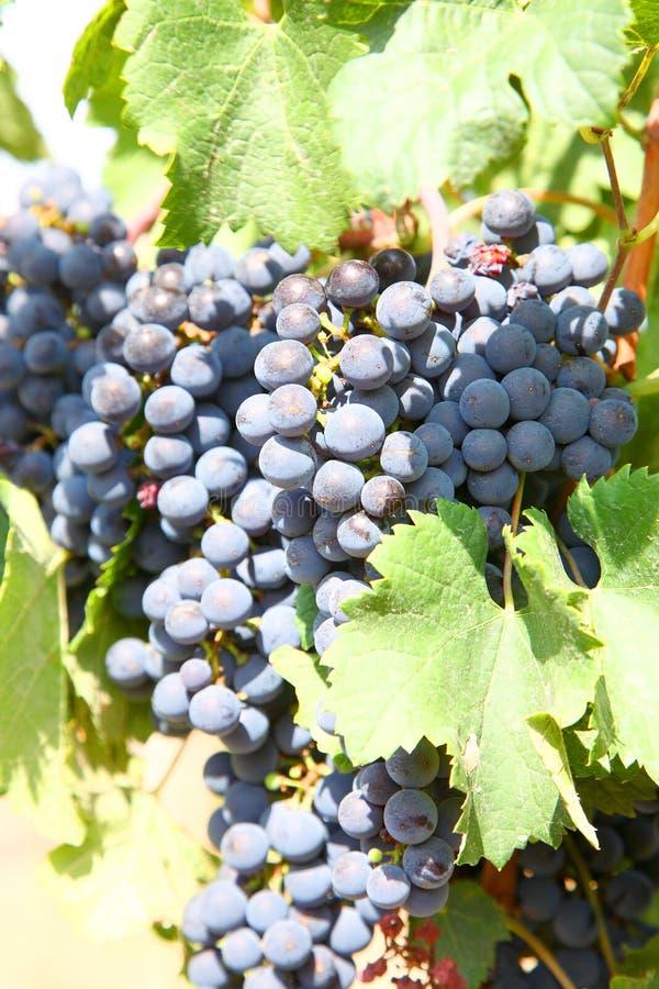 Het gewas van druiven. royalty-vrije stock afbeelding