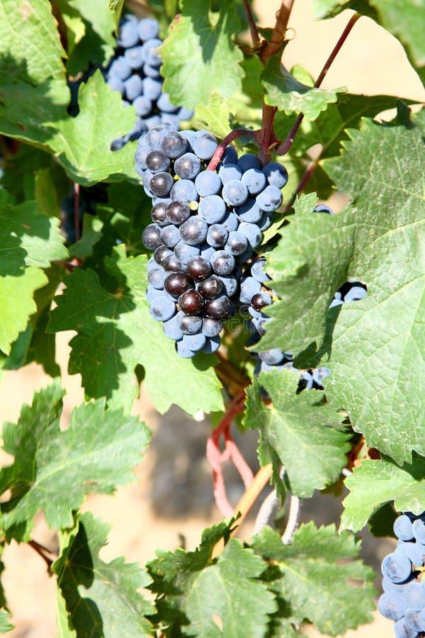 Het gewas van druiven. royalty-vrije stock foto