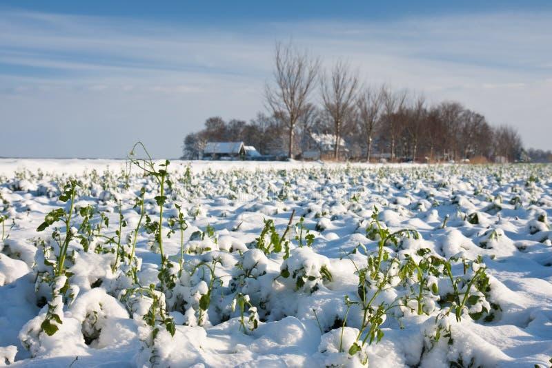 Het gewas van het landbouwbedrijf in de winter stock afbeeldingen