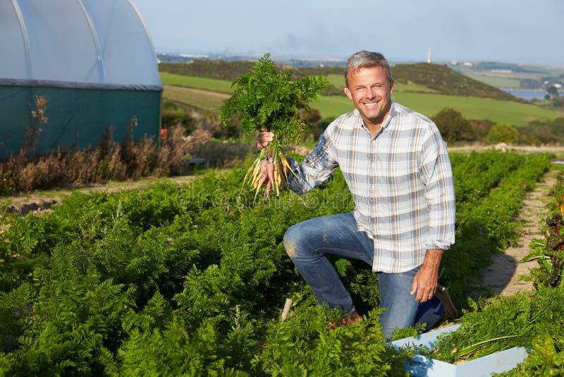 Het Gewas van landbouwersharvesting organic carrot op Landbouwbedrijf royalty-vrije stock foto