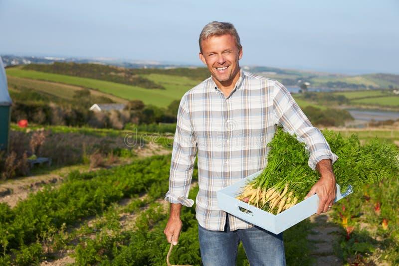 Het Gewas van landbouwersharvesting organic carrot op Landbouwbedrijf royalty-vrije stock afbeelding