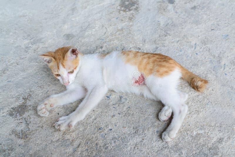 Het Gewonde Katje, Verwondde Weinig Kat Met Letsel Bij Het