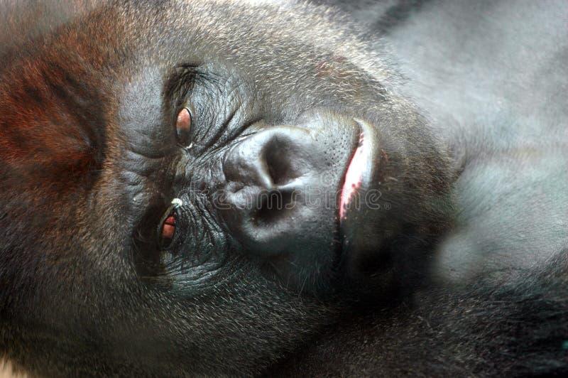 Het gezicht van de gorilla stock afbeeldingen