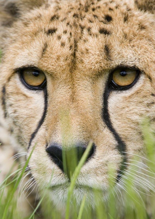 Het gezicht van de jachtluipaard in het gras royalty-vrije stock afbeelding