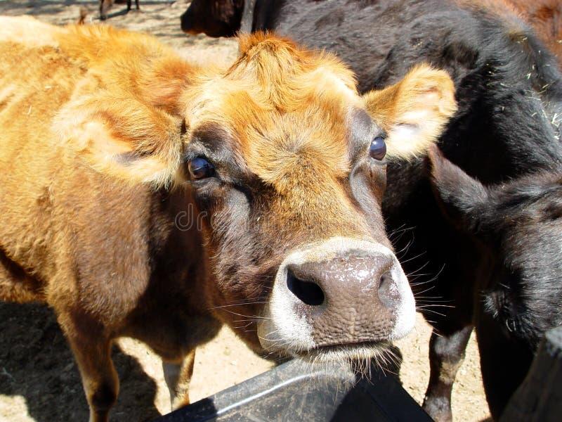 Het gezicht van de koe stock afbeelding