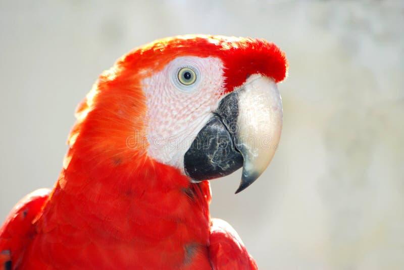 Het gezicht van de papegaai royalty-vrije stock fotografie