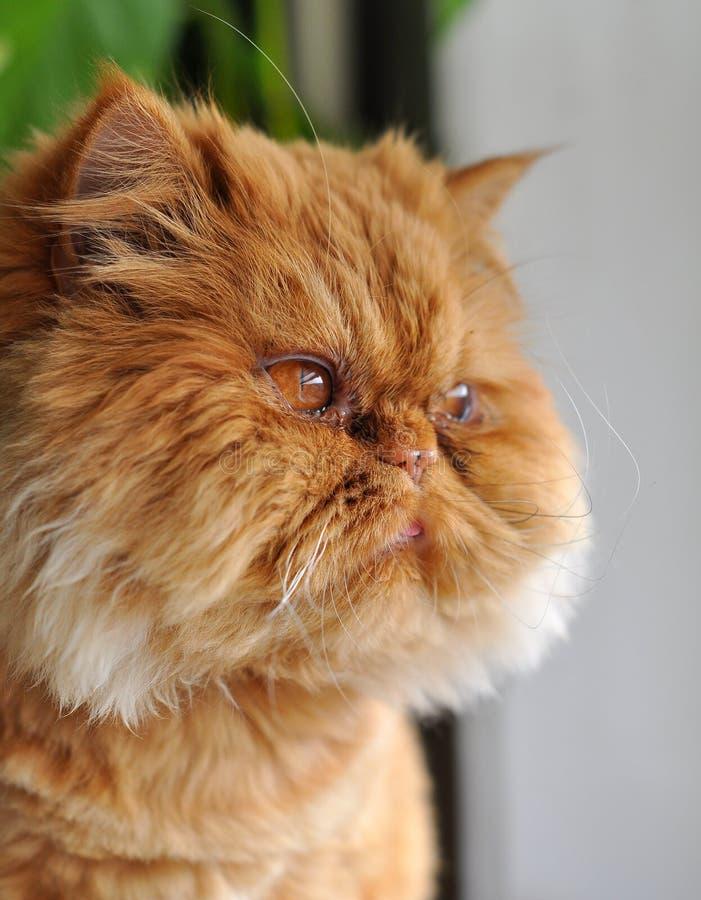 Het gezicht van de rode kat stock foto