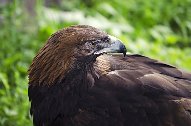 Het gezicht van een adelaar, een roofvogel op de aarde, vogels in gevangenschap, adelaars dichte omhooggaand royalty-vrije stock afbeeldingen