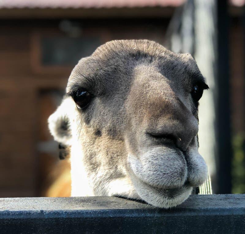 Het gezicht van een Alpacalama n stock foto