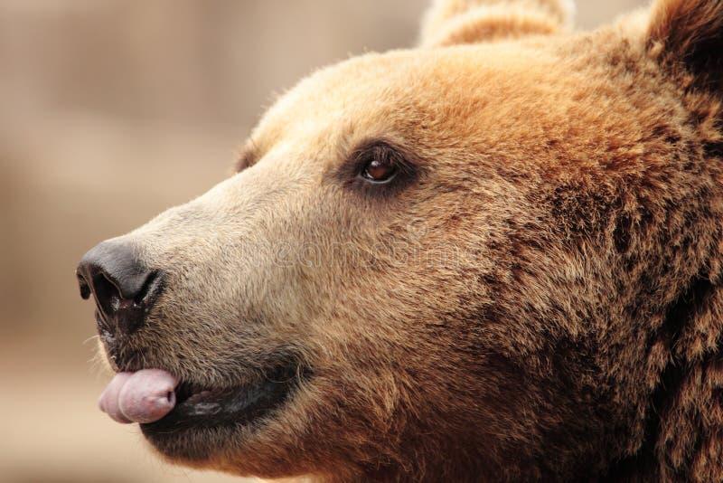 Het gezicht van een beer royalty-vrije stock foto