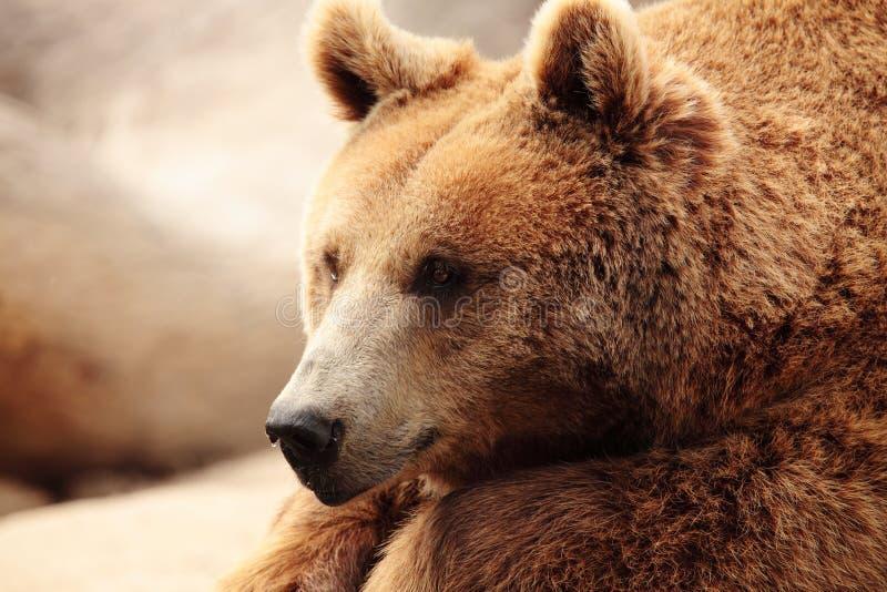 Het gezicht van een beer stock foto