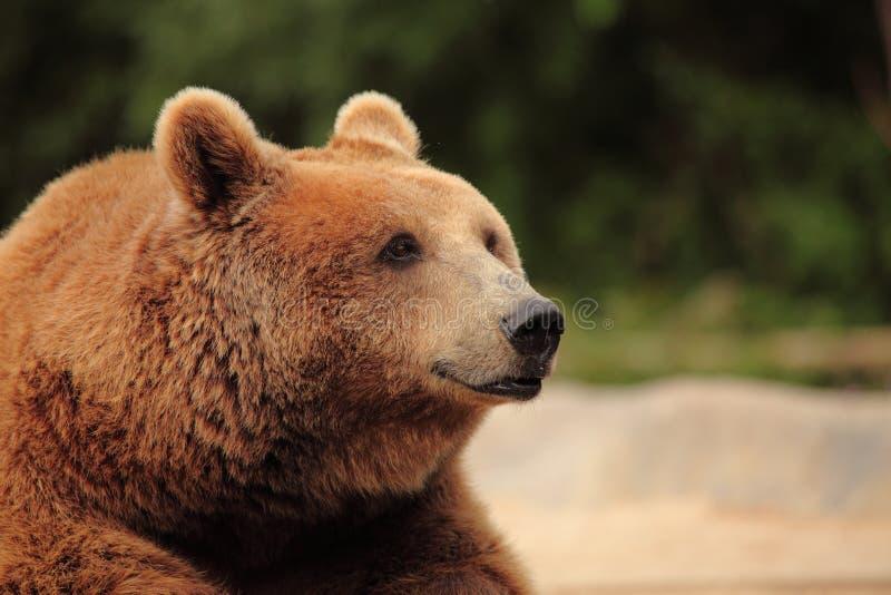 Het gezicht van een beer stock afbeelding