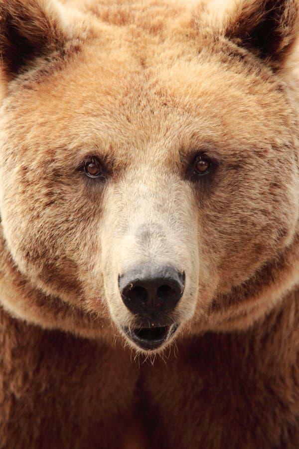 Het gezicht van een beer stock afbeeldingen