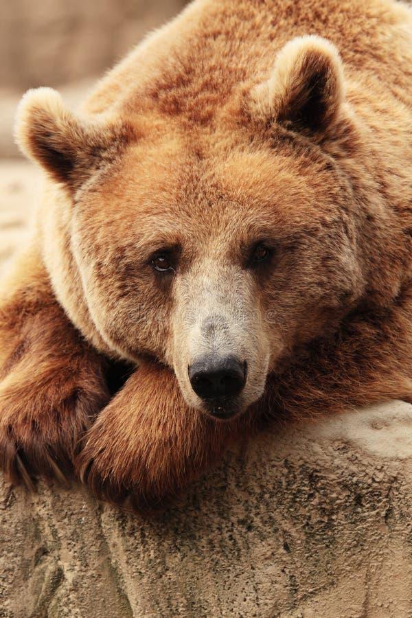Het gezicht van een beer royalty-vrije stock afbeelding