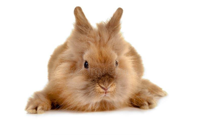 Het gezicht van het konijn royalty-vrije stock foto
