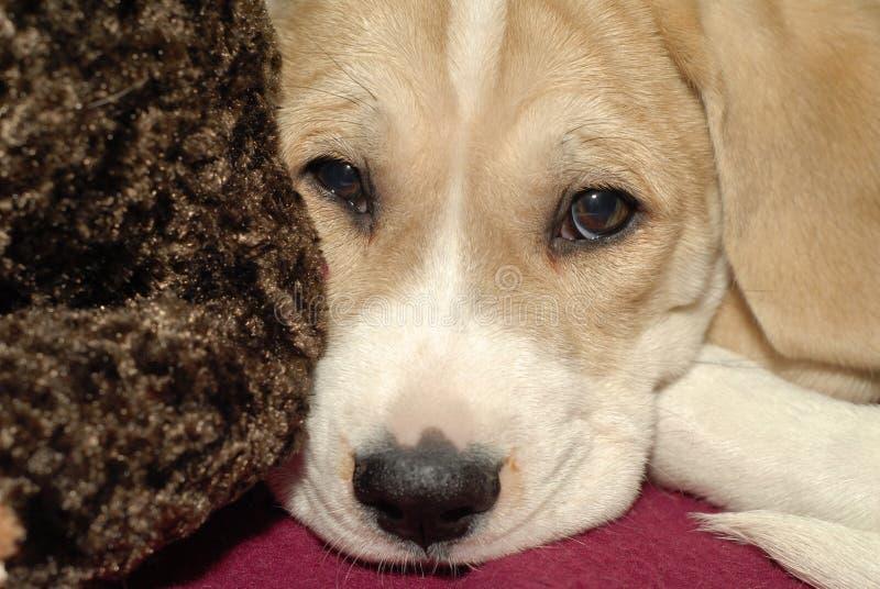 Het gezicht van het puppy stock foto