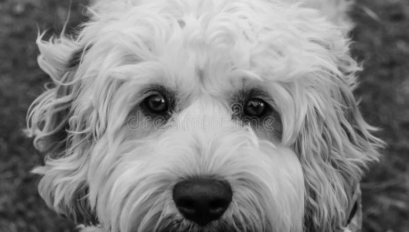 Het gezicht van koningscharles spaniel stock foto's