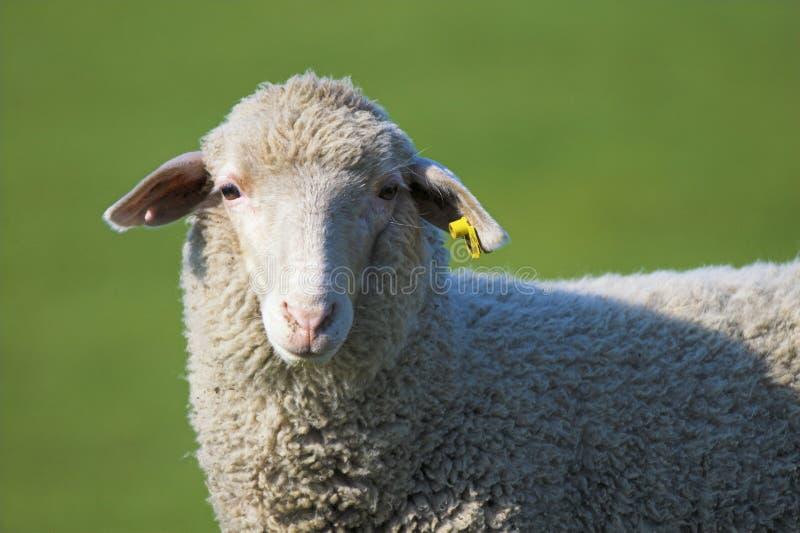 Het gezicht van schapen royalty-vrije stock foto's