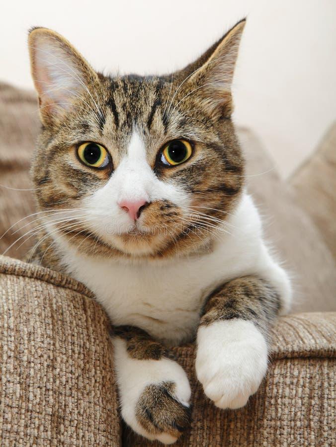 Het gezichts grote ogen van de kat royalty-vrije stock foto