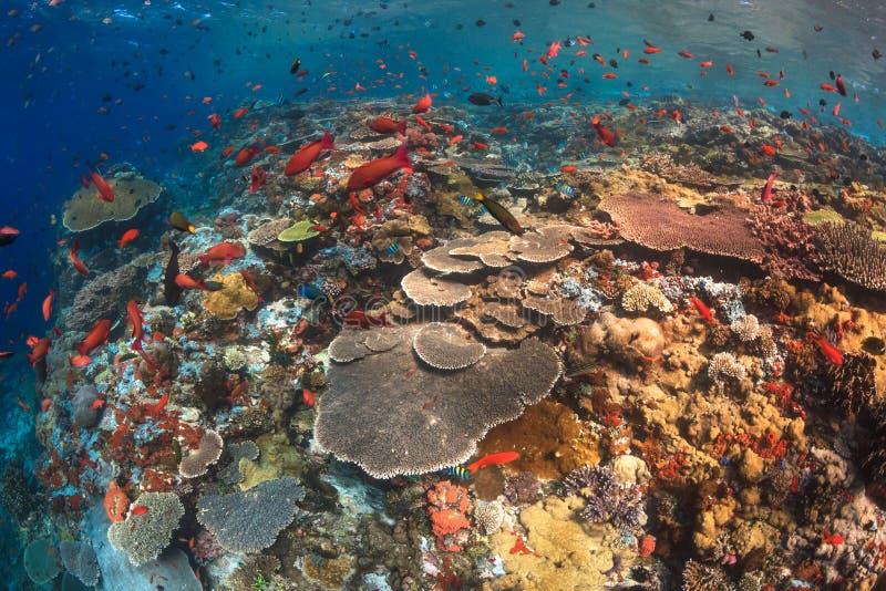 Het gezonde koraalrif van de huidige stad, Komodo stock fotografie